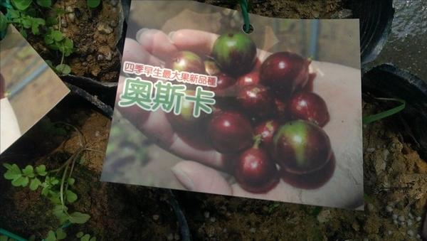 ** 奧斯卡樹葡萄 ** 4.5吋盆/高20-30cm OvO