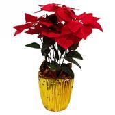 七吋聖誕紅盆花