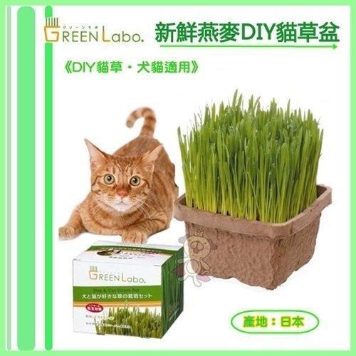 *KING WANG*日本GreenLabo燕麥盆栽組DIY新鮮貓草盆栽燕麥種子貓草組合包懶人包易種包
