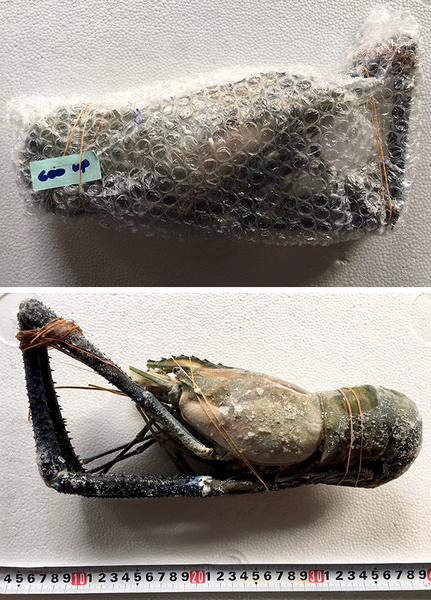 ㊣盅龐水產 ◇泰國蝦6/7◇淨重600g±5%g/隻 零售$750元/隻 ◇泰國手臂蝦  熊蝦 草蝦 很大 團圓