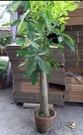 花花世界_喬木植物--馬拉巴栗(單幹盆),樹幹通直--又名發財.樹招財樹/粗10-12/高100~120公分/Tm