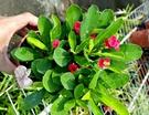 活體 [麒麟花] 室外植物 3吋盆栽 送...