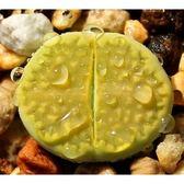CARMO巴厘玉C111A種子(10顆裝)生石花種子【E42】