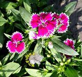 [鑲白邊石竹 香石竹] 3寸黑軟盆。可以自己換大盆 花期長  多款草花。歡迎詢問
