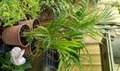 活體  [黃椰子樹] 多年生室內植物 5-6吋盆栽 可以淨化空氣  種室內需光線充足,半日照佳