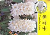 [超香 白色風信子盆栽] 2.5寸盆 室內濃香花卉 多年生球根類觀賞花卉盆栽
