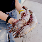 ㊣盅龐水產◇海熊蝦200/250(2入)◇重量400g±10%/包(2入)◇零$825元/包◇超胖巨無霸 大鵰蝦