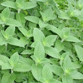 CARMO檸檬薄荷種子 園藝種子(單份) 【FR0066】