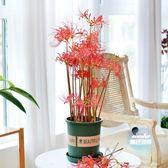 花卉種子 曼珠沙華彼岸花種子盆栽花石蒜科種球四季室內花卉曼陀羅觀花植物 20色