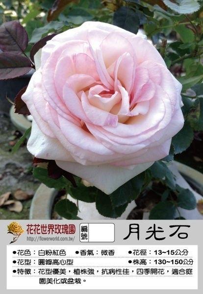 花花世界_玫瑰苗--月光石,Moonstone--花型優美多花/4吋盆苗/高10~30公分/Tm