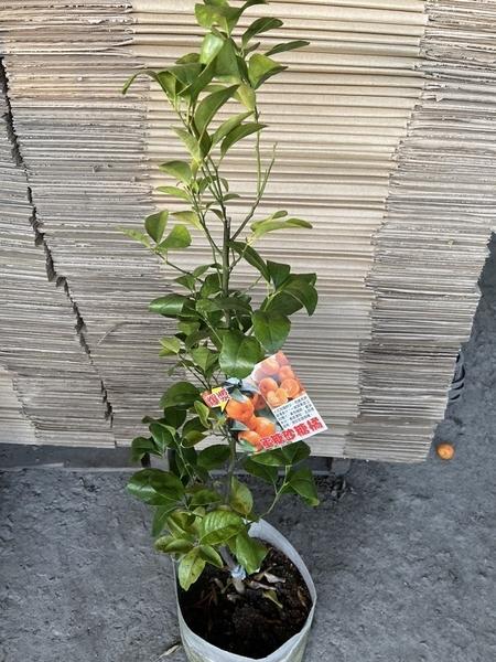 花花世界_季節水果苗--蜜糖沙糖橘--**會爆漿喔**/7吋盆/高40~50CM/TC