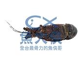 1B7B【魚大俠】SP084生凍青殼龍蝦(250~300g/尾)#中