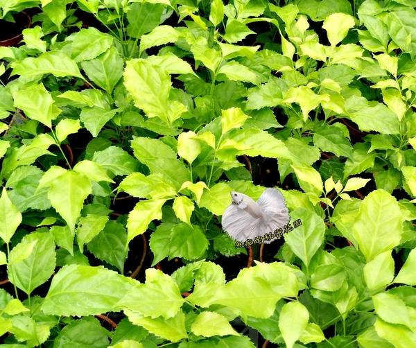 [旺旺樹 進財樹 山菜豆] 室內植物 3吋活體盆栽 送禮小品盆栽