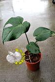 [電信蘭盆栽 龜背芋 龜背竹 電線蘭、蓬萊蕉] 6吋盆 多年生活體植物 送禮小品盆栽 半日照佳