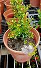 [日本姬石榴花盆栽] 4寸盆 室外花卉 ...