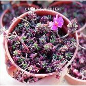 CARMO紫米飯多肉植物成株(3吋)【Z0036】