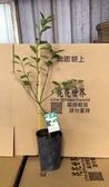花花世界_水果苗--四季金桔(嫁),四季橘-- 一年一度的花期/4吋約高20-40cm/Tm