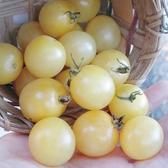 CARMO白番茄種子 園藝種子(單份) 【FR0060】