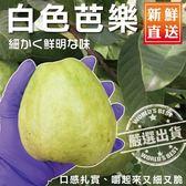【WANG-全省宅配免運】頂級套網燕巢牛奶珍珠芭樂x1箱(3斤±10%含箱重/箱)