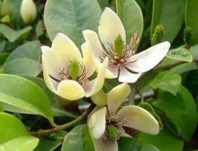 綠籬植物 ** 含笑花 ** 6吋盆/ 高20-30公分高/ 帶有香蕉的香氣【花花世界玫瑰園】R