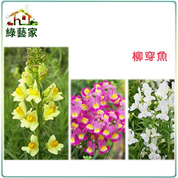 【綠藝家】大包裝H28.柳穿魚(混合色,高60cm)種子900顆