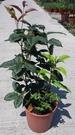 花花世界_綠籬植物--四季桂 四季桂花 ,甜甜清香--清香撲鼻/6吋盆苗/高25-30公分/TP