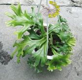 [大鹿角石圍 石圍鹿角蕨] 5-6吋 觀賞鹿角蕨盆栽 活體室內植物盆栽 半日照佳