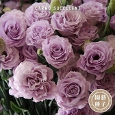 CARMO洋桔梗種子 園藝種子(20顆) 【FR0033】
