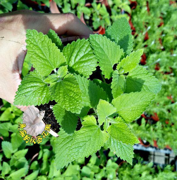 [貓薄荷] 香草植物 貓薄荷貓大麻盆栽 3吋盆活體盆栽, 可食用可泡茶 曬乾貓咪聞到會很興奮