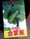 花花世界_水果苗--合掌蕉(蛤蜊蕉)-猶如蓮花座的-蓮花蕉/6吋盆/TS