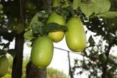 [台中]採果體驗-蜻蜓谷休閒農場(檸檬)