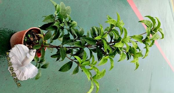 [台灣桂花 四季桂花] 5-6吋盆 活體室外盆栽, 開花會香