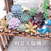 〔〕CARMO多肉植物成株3吋景天科 (隨機出貨)【Z0001】