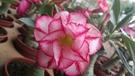 ** 沙漠玫瑰-不分花色 ** 5吋盆/高15-25cm OvO