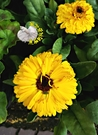 季節限定 [橘色或黃色金盞花盆栽] 5吋...
