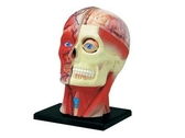 【4D MASTER】立體拼組模型人體解剖教學系列-頭頸 26064