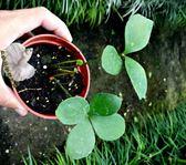 活體 [闊葉鐵樹] 室內植物 3吋盆栽 送禮小品盆栽