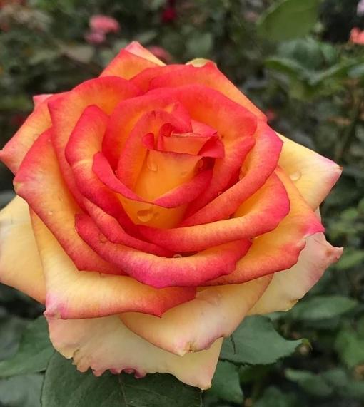 花花世界 玫瑰苗--超特價商品 玫瑰苗無標品,不挑品種--/3.5吋盆苗/高15-20公分/Tm