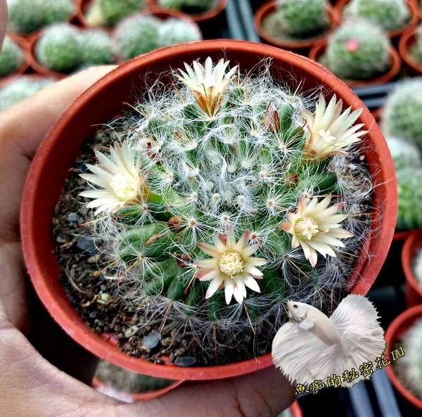 [白毛仙人掌 品種: 高砂/杜威/白雪 隨機出] 3吋盆 活體仙人掌盆栽 送禮小盆栽. 購買時不一定有花