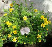 [金毛菊花盆栽] 5-6吋盆活體觀賞花卉盆栽, 送禮花卉盆栽 室外花卉