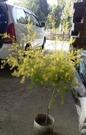 花花世界_常綠喬木--黃金串錢柳(自然型)--**黃金香柳、千層金**/8吋盆/高90-120公分/TC