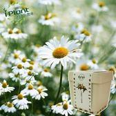 iPlant積木小農場-小品菊(小雛菊)