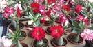 多肉植物 ** 沙漠玫瑰-不分花色 ** 5吋盆/高15-25公分 /花色多種艷麗好種【花花世界玫瑰園】R