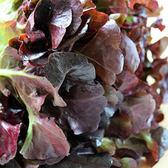 預購 【安心蔬食】水耕蔬菜-紫橡生菜(150g)