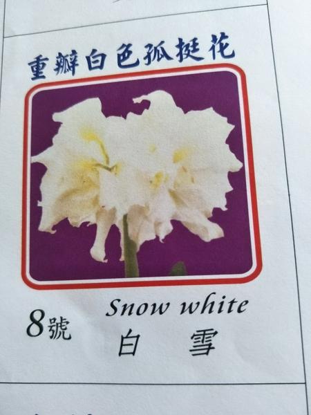 季節花卉--種子 球根 **重瓣孤挺花--白雪(8號) **白雪公主【花花世界玫瑰園】S