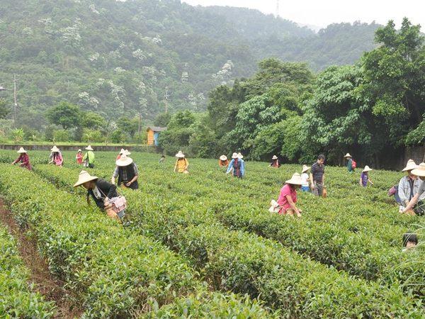 [宜蘭]鵝山茶園-精緻單人農業體驗一日遊