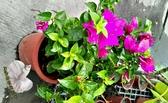 [紫紅色/桃紅色九重葛盆栽] 6-8吋盆 活體室外植物 開花植物盆栽