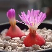 CARMO燈泡Conophytum burgeri種子(10顆裝)【A51】