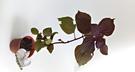 香草植物 紅紫蘇盆栽  3吋盆活體盆栽, 可食用可泡茶
