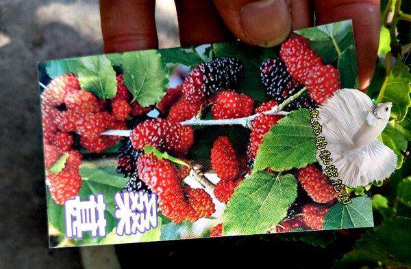 活體 [ 桑葚樹 桑樹 ] 室外植物 6-8吋 多年生果樹盆栽 結果可食用或釀酒 蠶寶寶食物